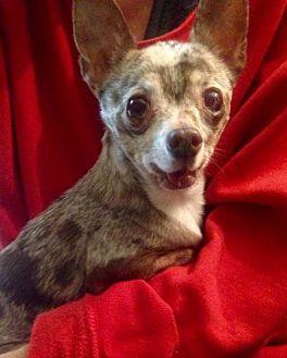 Chihuahua Dog for adoption in Colton, California - Starbucks