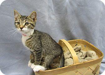 Domestic Shorthair Kitten for adoption in Lexington, North Carolina - Thomas