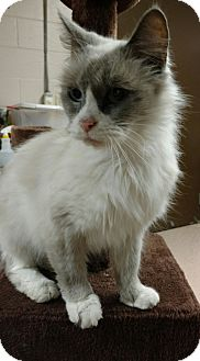 Ragdoll Cat for adoption in Troy, Ohio - Misty