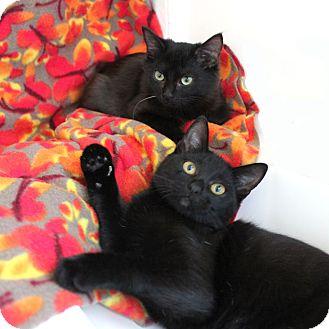 Domestic Shorthair Kitten for adoption in Studio City, California - Athena *video*