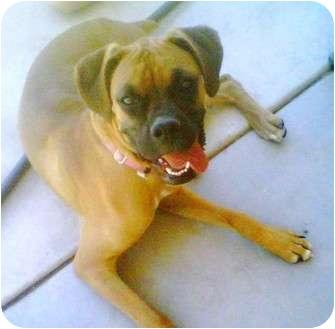 Boxer Puppy for adoption in Gilbert, Arizona - BELLA