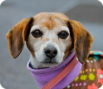 Beagle Mix Dog for adoption in Hastings, New York - Daisy