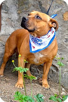 Staffordshire Bull Terrier Mix Dog for adoption in San Diego, California - Smiley