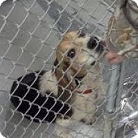 Adopt A Pet :: Chester - Courtesy Post - Dundas, VA