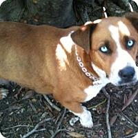 Australian Cattle Dog/Labrador Retriever Mix Dog for adoption in san Antonio, Texas - Sapphire