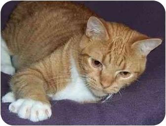 American Shorthair Cat for adoption in Spencer, New York - Dude