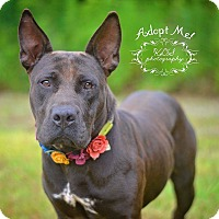 American Staffordshire Terrier/American Bulldog Mix Dog for adoption in Fort Valley, Georgia - Maggie