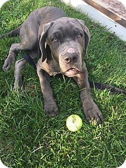 Neapolitan Mastiff Puppy for adoption in Oswego, Illinois - Nora