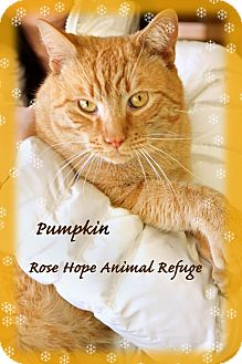 Domestic Shorthair Cat for adoption in Waterbury, Connecticut - Pumpkin