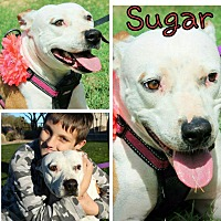 Adopt A Pet :: Sugar - Gilbert, AZ