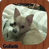 Chihuahua Dog for adoption in Lexington, Kentucky - Goliath