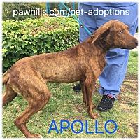 Adopt A Pet :: APOLLO - Agoura Hills, CA