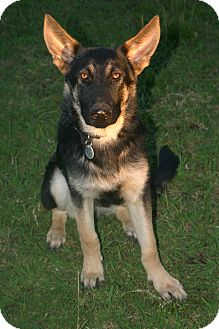 German Shepherd Dog Puppy for adoption in Tracy, California - Adam ADOPTED!!