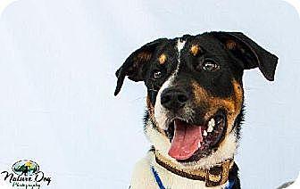 Boxer/Collie Mix Dog for adoption in Houston, Texas - Superman