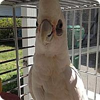 Adopt A Pet :: Snowy - Punta Gorda, FL