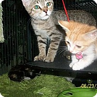 Adopt A Pet :: 2 kits are BETTER than 1!!! - Palm Springs, CA