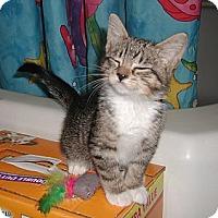 Adopt A Pet :: 3 TABBIES READY 5-28 - Little Neck, NY