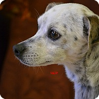 Adopt A Pet :: SKIP - Higley, AZ