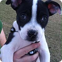 Adopt A Pet :: Loki - Phoenix, AZ