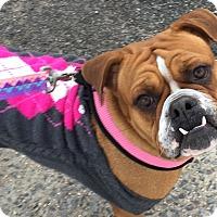 Adopt A Pet :: Enchanting Erica - Madison, NJ