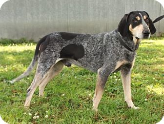 Bluetick Coonhound Dog for adoption in Salem, New Hampshire - Hoagie