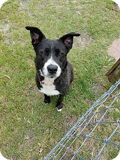 Bernese Mountain Dog Mix Dog for adoption in Williston, Florida - Blackie