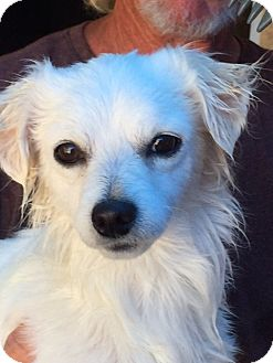 Papillon/Tibetan Spaniel Mix Dog for adoption in Corona, California - Garrett James II Sweet Baby