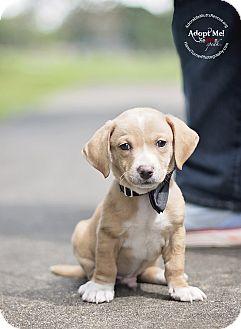 Labrador Retriever/Beagle Mix Puppy for adoption in Portland, Oregon - JONATHAN - see my VIDEO