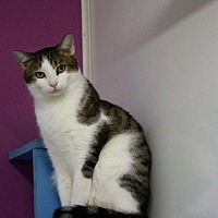 Domestic Shorthair Cat for adoption in McKenzie, Tennessee - Gilmore