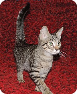 Domestic Shorthair Kitten for adoption in Plano, Texas - RAINEY - LEFT IN A BOX