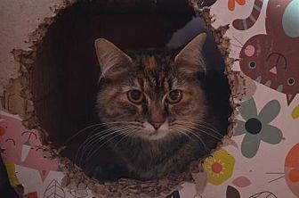 Domestic Mediumhair Cat for adoption in Brownsboro, Alabama - Rain