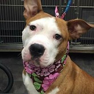 Pit Bull Terrier Mix Dog for adoption in Wyoming, Michigan - Cookies