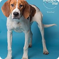 Adopt A Pet :: Stefan - New Milford, CT