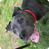 Adopt A Pet :: Dan - Massachusetts - Fulton, MO
