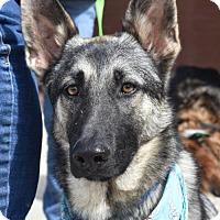 Adopt A Pet :: Trigger - Greensboro, NC