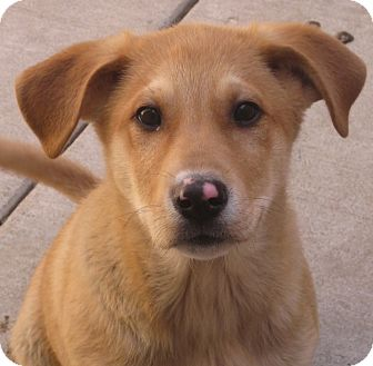Labrador Retriever/Great Pyrenees Mix Puppy for adoption in Chicago, Illinois - Sarge*ADOPTED!*