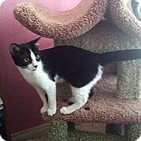 Adopt A Pet :: Farrah - Laguna Woods, CA