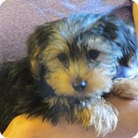 Adopt A Pet :: Morgan - Greenville, RI