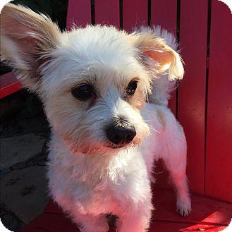 Maltese/Poodle (Miniature) Mix Dog for adoption in El Segundo, California - Joey