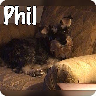 Schnauzer (Miniature) Mix Dog for adoption in Millersville, Maryland - Phil