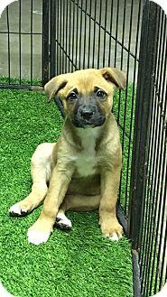 German Shepherd Dog/Australian Shepherd Mix Puppy for adoption in Carson, California - Primm