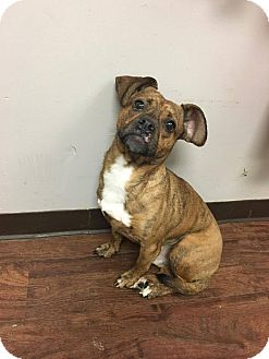 Dachshund/English Bulldog Mix Dog for adoption in Xenia, Ohio - Minion