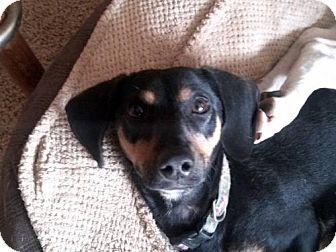 Dachshund Dog for adoption in Tucson, Arizona - Buddy