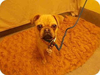 Pug Mix Puppy for adoption in Upper Marlboro, Maryland - *CEILA