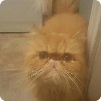 Adopt A Pet :: Ashley Cat - Spring, TX