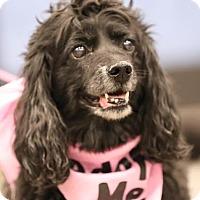 Adopt A Pet :: Lil Bitz - Westminster, MD