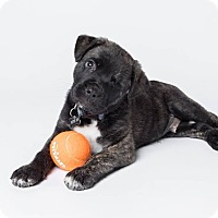 Adopt A Pet :: Alastor Moody - Austin, TX