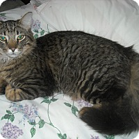 Maine Coon Cat for adoption in Arlington, Virginia - Cutty-(and Saturn)