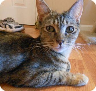 Domestic Shorthair Cat for adoption in Reston, Virginia - Terri