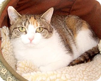 Domestic Shorthair Cat for adoption in Germansville, Pennsylvania - Zoie